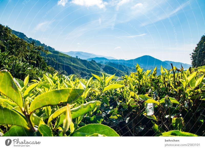 grün oder schwarz? Ferien & Urlaub & Reisen Tourismus Ausflug Abenteuer Ferne Freiheit Natur Landschaft Pflanze Baum Sträucher Blatt Teepflanze Bananenstaude