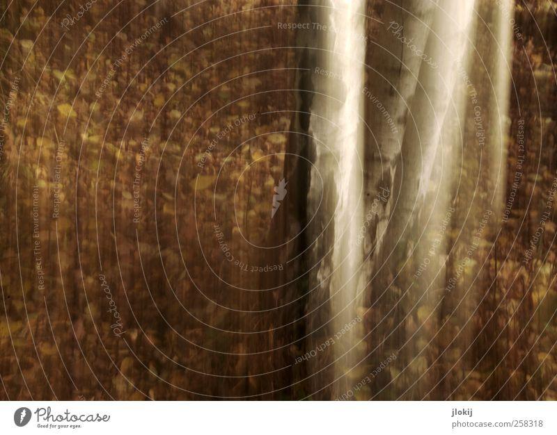 Birken Natur weiß Baum Pflanze Blatt Wald Bewegung Park braun Baumstamm Baumrinde Waldboden