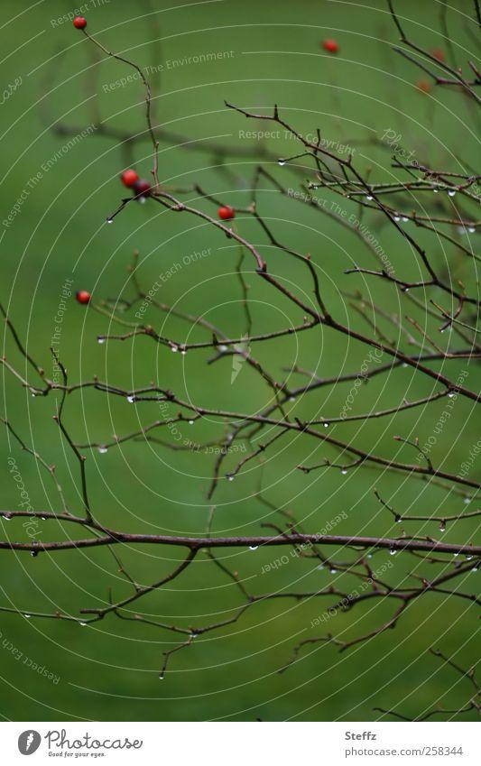 Grüne Impression mit nassen Zweigen und Hagebutten grün Beeren karg November Novemberstimmung einfach natürlich Beerensträucher Hundsrose Strauchrose Teepflanze
