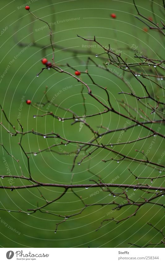 Grüne Impression Natur Pflanze grün Herbst Garten Park Wetter Regen trist Sträucher Klima Wassertropfen nass einfach Zweig Beeren