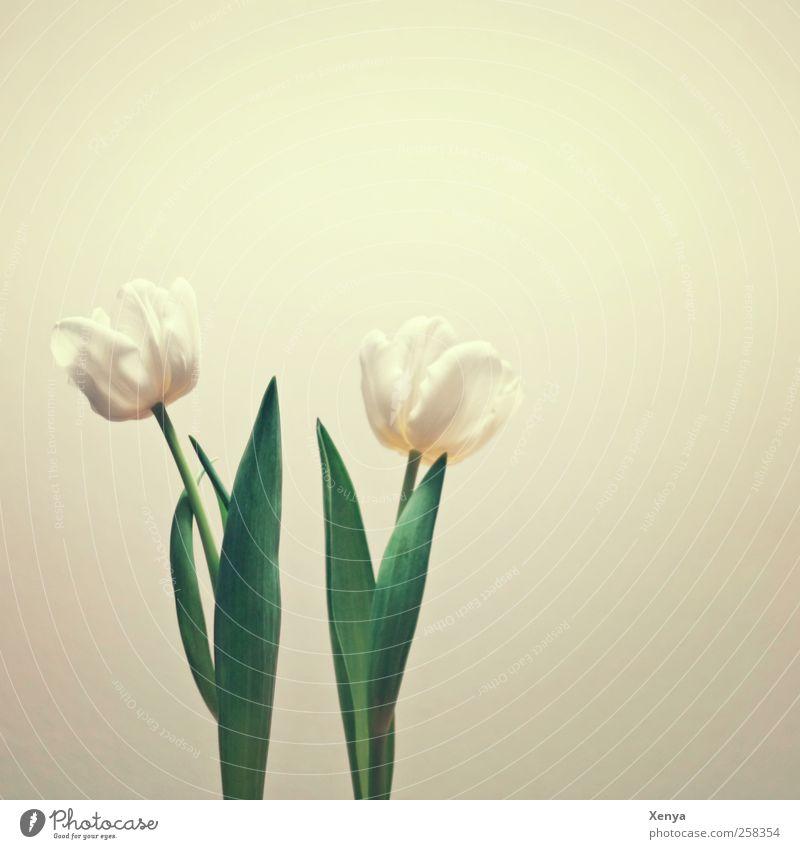 Zwei grün weiß Pflanze Blume ruhig paarweise retro Tulpe Frühlingsgefühle nebeneinander