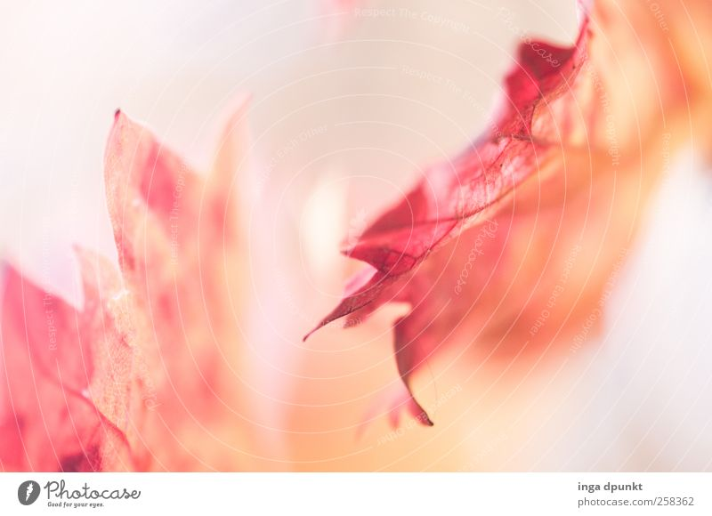 Herbstboten Natur Pflanze schön rot Landschaft Blatt Umwelt Herbst Garten Zukunft Vergänglichkeit Hoffnung Jahreszeiten Glaube Meditation Grünpflanze