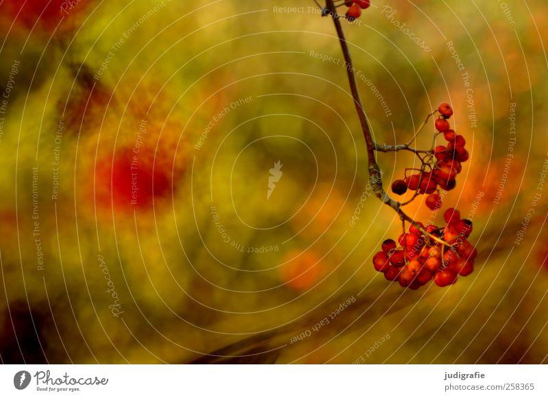 Rot Umwelt Natur Pflanze Herbst Baum Garten Park Wald Wachstum natürlich Wärme wild rot Beeren Farbfoto Außenaufnahme Detailaufnahme Unschärfe