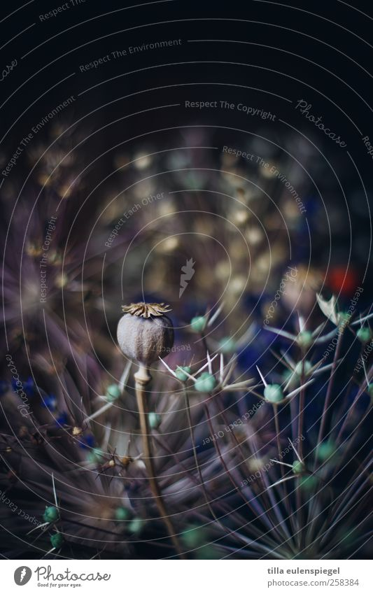 eintausendreihundertvierundachtzig Pflanze Blumenstrauß dehydrieren dunkel natürlich trocken Vergänglichkeit Mohn Mohnkapsel Unschärfe Trockenblume schwarz