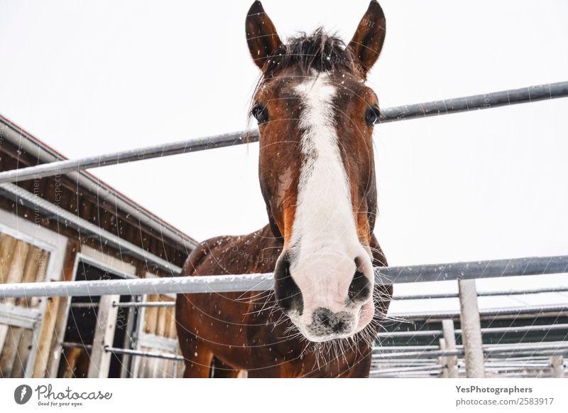 Pferd schaut auf die Kamera, während es schneit. Winter Schnee Natur Tier Schneefall Nutztier Tiergesicht Freundlichkeit kalt lustig niedlich braun weiß