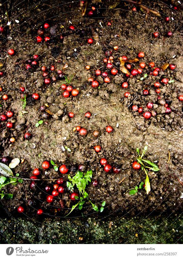 Beeren Natur Stadt rot Pflanze Wiese Umwelt Wand Berlin Garten Park Erde Fassade Ernte Beeren füttern Kirsche