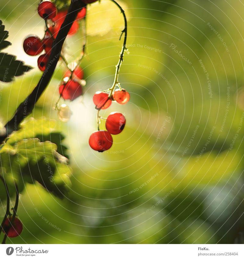 Wilde Beeren Frucht Umwelt Natur Pflanze Sonnenlicht Sommer Schönes Wetter Sträucher Blatt Wildpflanze Park hängen leuchten Gesundheit hell schön lecker