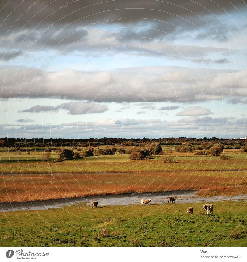 auf weiter Flur Natur Landschaft Pflanze Tier Wasser Himmel Wolken Gewitterwolken Herbst Baum Gras Schilfrohr Wiese Flussufer Shannon Republik Irland Nutztier