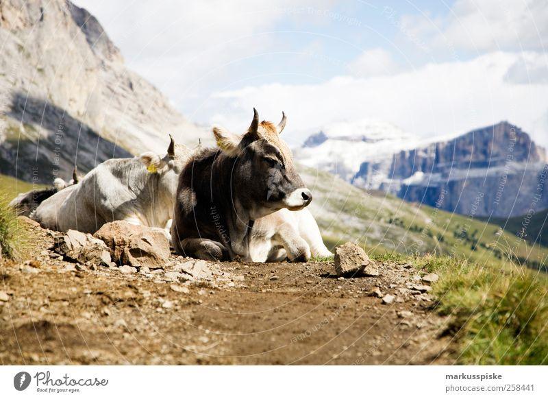 hochgebirgsmilchspender Natur Pflanze Tier Erholung Landschaft Berge u. Gebirge Lebensmittel Bewegung Gras Felsen Abenteuer Sträucher Alpen Landwirtschaft
