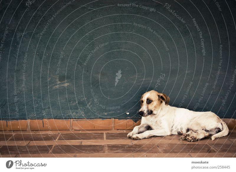El Perro blau weiß Hund Tier Einsamkeit ruhig Wand Mauer braun Armut liegen stehen trist einfach Tiergesicht Fell