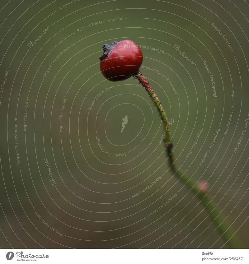 solo Natur Pflanze schön rot Einsamkeit Traurigkeit Herbst grau Garten glänzend trist einzeln Vergänglichkeit Wandel & Veränderung Beeren Teepflanze