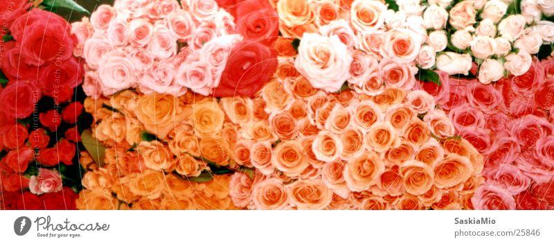 Rosenmeer Blume Rose Markt Blumenstand