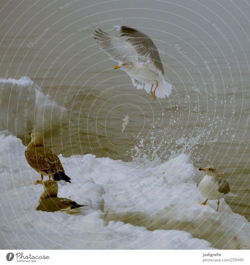 Winter Umwelt Natur Tier Wasser Klima Eis Frost Schnee Küste Strand Ostsee Wildtier Vogel Möwe Silbermöwe 4 fliegen warten kalt wild Gischt spritzen Farbfoto