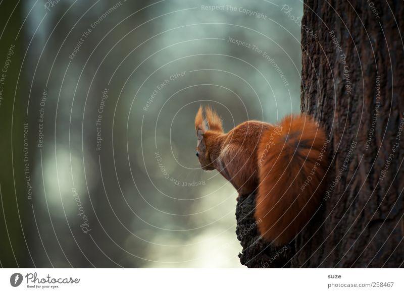 Schau-ins-Land rot Tier klein braun Park sitzen Wildtier authentisch niedlich Neugier Fell Tiergesicht Baumstamm tierisch Interesse Eichhörnchen