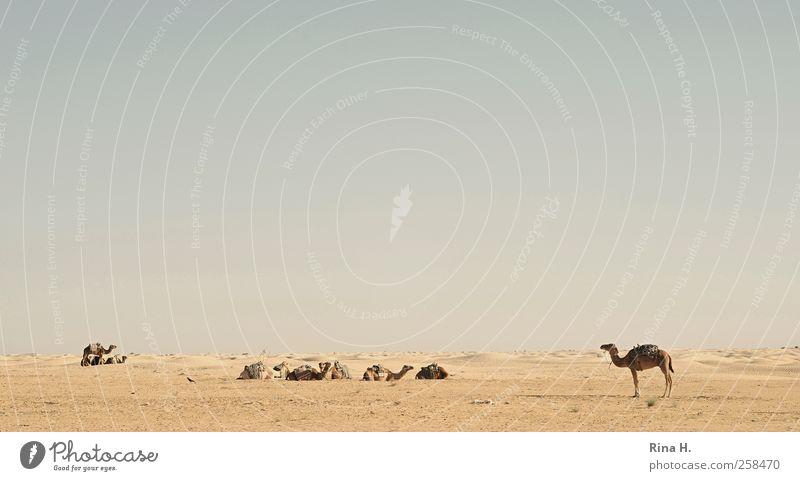Wüstenschiffe ( die Wächter) Natur Landschaft Himmel Wolkenloser Himmel Horizont Schönes Wetter Tunesien Nutztier Kamel Dromedar Tiergruppe beobachten sitzen
