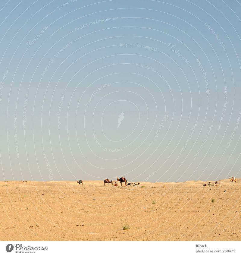 Wüstenschiffe II Himmel Natur blau Ferien & Urlaub & Reisen Ferne gelb Landschaft Wärme hell Horizont warten Abenteuer Tourismus Klima authentisch Tiergruppe