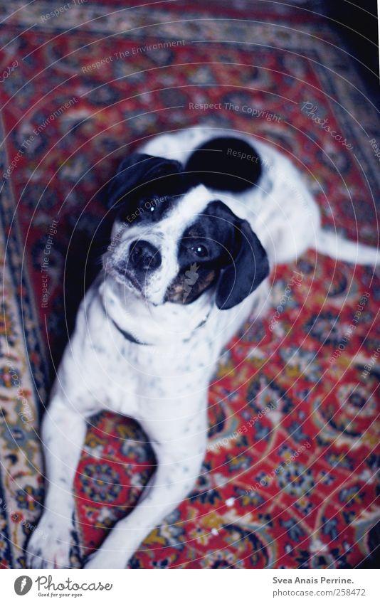 trüffel. Hund Tier liegen Neugier Haustier Teppich betteln