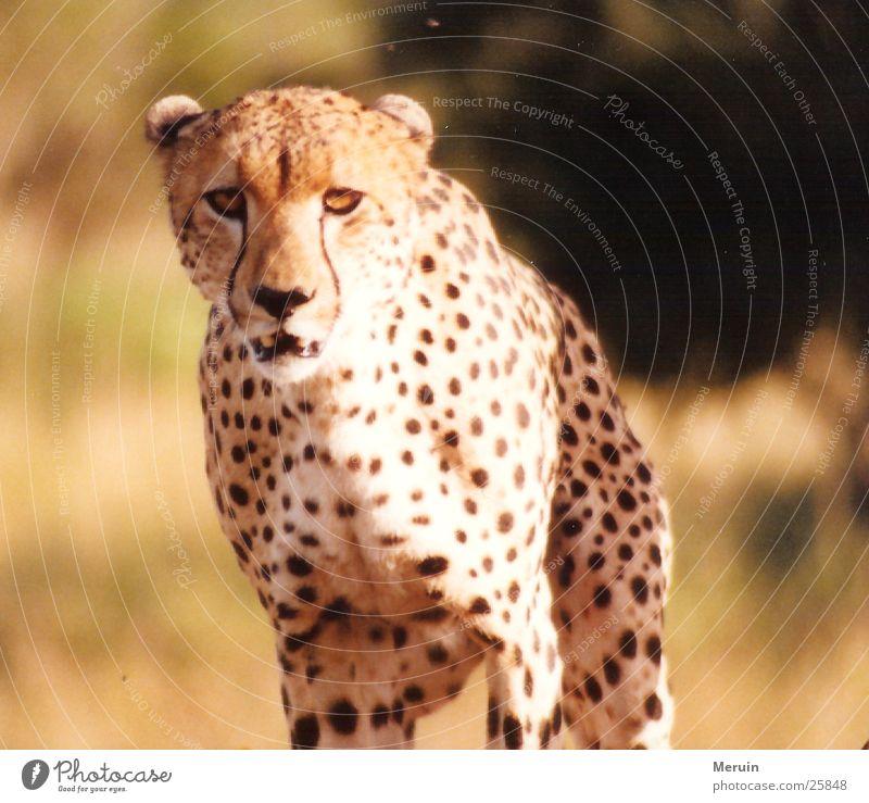 Auge in Auge Gepard Kenia Geschwindigkeit Katze Raubkatze Steppe Landraubtier Wildtier Predator Bewegung