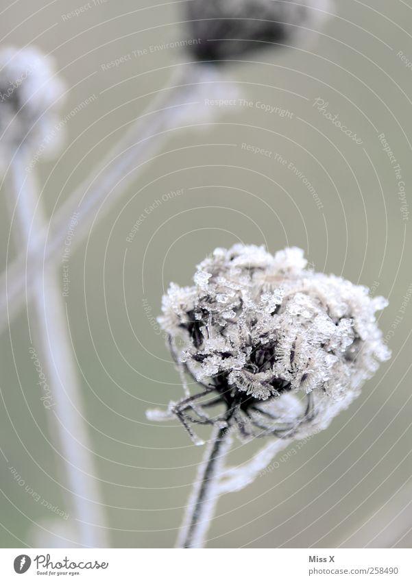 Frostig Natur Pflanze Winter Blume Blatt kalt Umwelt Blüte Wetter Eis Frost Sträucher gefroren Raureif