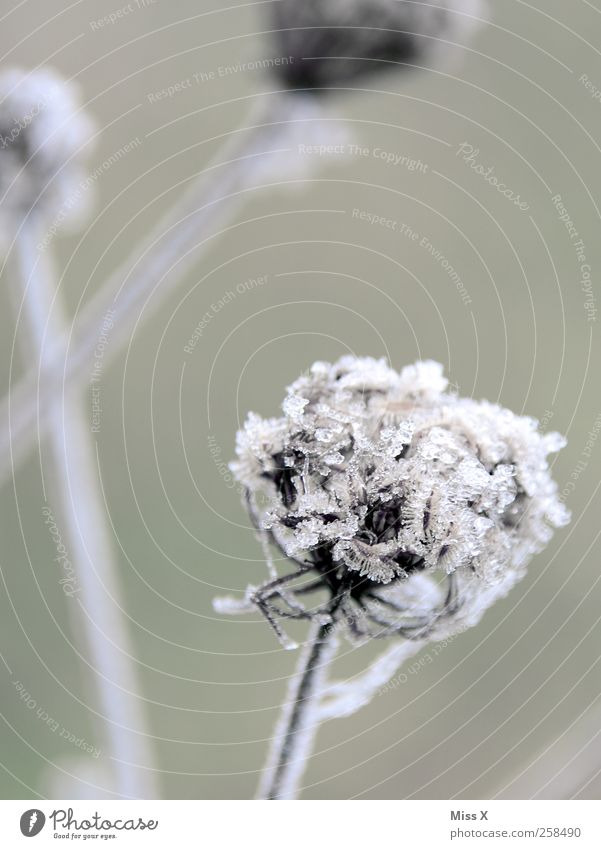 Frostig Umwelt Natur Winter Wetter Eis Pflanze Blume Sträucher Blatt Blüte kalt Raureif gefroren Farbfoto Gedeckte Farben Außenaufnahme Nahaufnahme Menschenleer