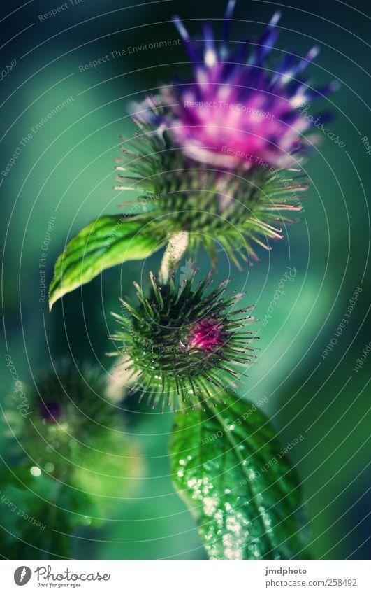Distel Umwelt Natur Tier Pflanze Gras Blatt Blüte Grünpflanze Garten Park Wiese Feld Blühend Duft Wachstum stachelig Stadt wild Ekel Feindseligkeit
