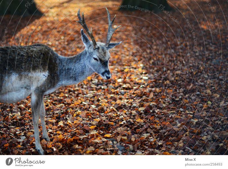 Hirscherla Natur Tier Herbst Blatt Wald Wildtier 1 Paarhufer Horn Laubwald Herbstlaub Farbfoto Außenaufnahme Menschenleer Textfreiraum rechts Tierporträt