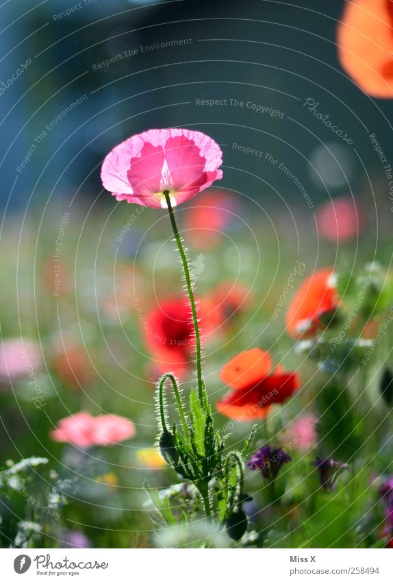 Mädchenfoto Natur Pflanze Sommer Blume Blatt Wiese Blüte Garten Frühling rosa Blühend Mohn Duft Blumenwiese Mohnblüte