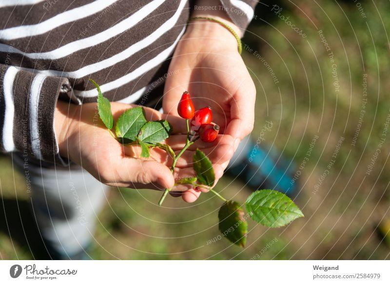 Hagebutten Lebensmittel Tee Duft Erntedankfest Kindergarten Kindheit 1-3 Jahre Kleinkind 3-8 Jahre Natur Pflanze einfach rot schön Herbst Garten Rose Farbfoto