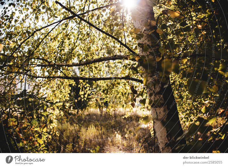 Herbst-Stimmung mit Birke Umwelt Natur Sonne Schönes Wetter Baum Wald Holz Gefühle Freude Glück Fröhlichkeit Zufriedenheit Lebensfreude träumen Farbfoto