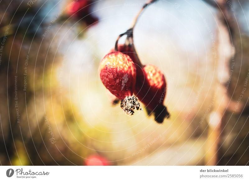 Der Herbst und seine Früchtchen V Natur Pflanze Umwelt Gefühle Stimmung Zufriedenheit Schönes Wetter Mut Wahrheit Hundsrose dankbar