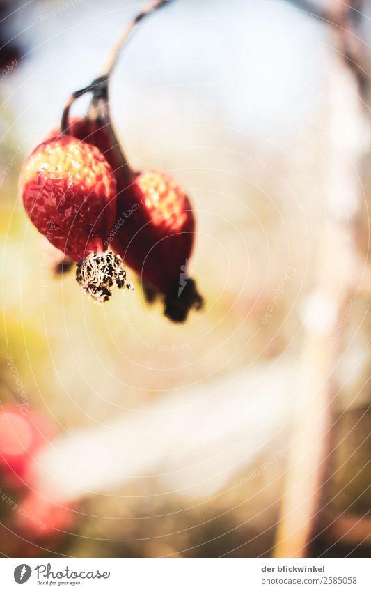 Der Herbst und seine Früchtchen IV Umwelt Natur Pflanze Hagebutten ästhetisch außergewöhnlich Optimismus Erfolg Kraft Mut authentisch Glück Zufriedenheit