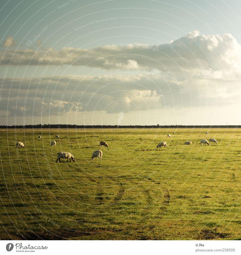 hinterm Horizont gehts weiter Gras Dithmarschen Schleswig-Holstein Nutztier Schaf Schafherde Tiergruppe Herde Fressen Unendlichkeit blau grün Tourismus