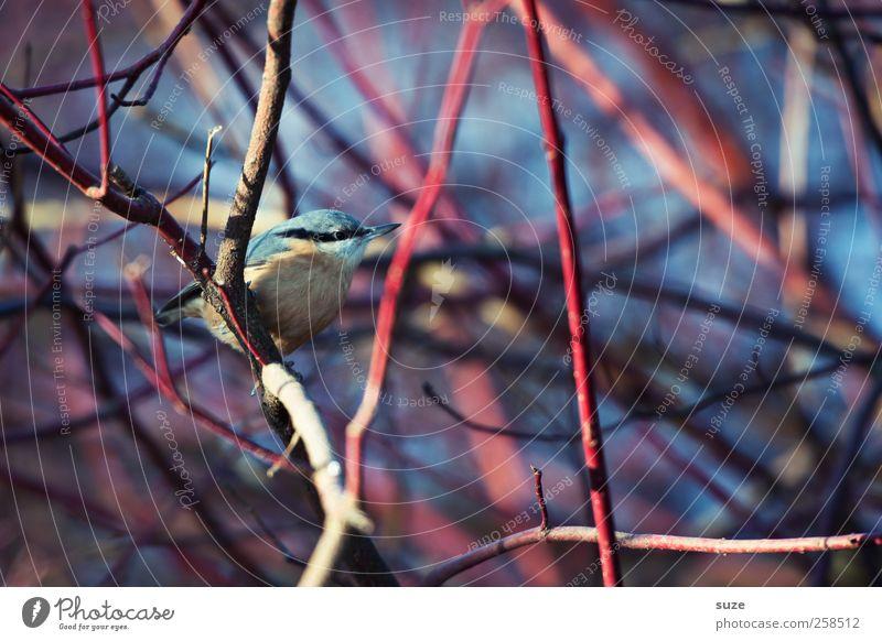 Versteckspiel Natur blau rot Tier Umwelt klein Vogel sitzen Wildtier Sträucher authentisch Schönes Wetter niedlich Feder Ast Zweig