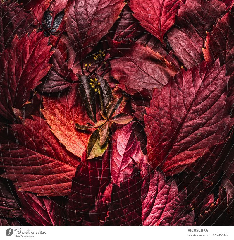 Rote Herbstblätter Stil Design Natur Blatt Dekoration & Verzierung Hintergrundbild September Herbstlaub rot Oktober November dunkel Farbfoto Studioaufnahme