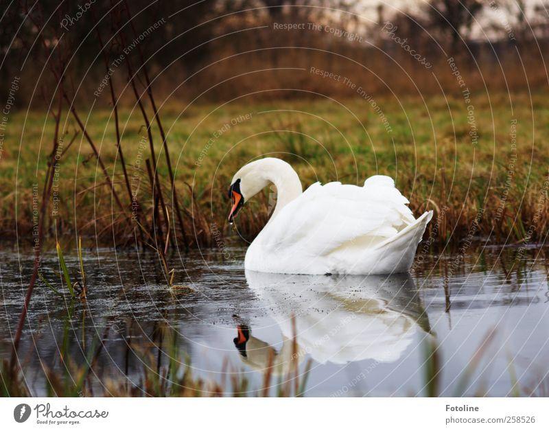 Schön zu jeder Jahreszeit Umwelt Natur Pflanze Urelemente Wasser Wiese Küste Seeufer Teich Tier Wildtier Vogel Schwan Flügel nass natürlich schön weiß