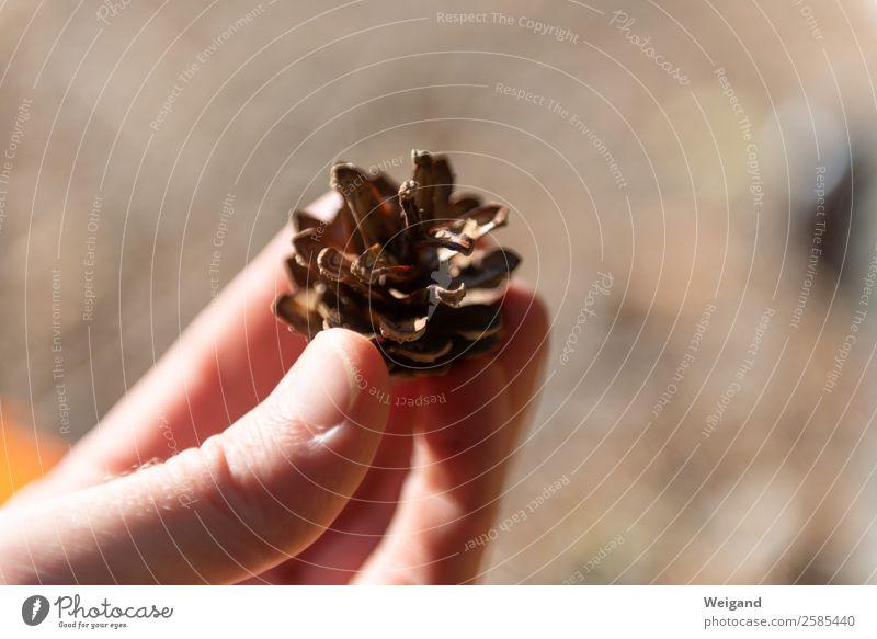 Kiefernzapfen Sinnesorgane Hand Umwelt Natur Wald nachhaltig braun Tannenzapfen Zapfen Ernte Sammlung Spaziergang Außenaufnahme Textfreiraum links