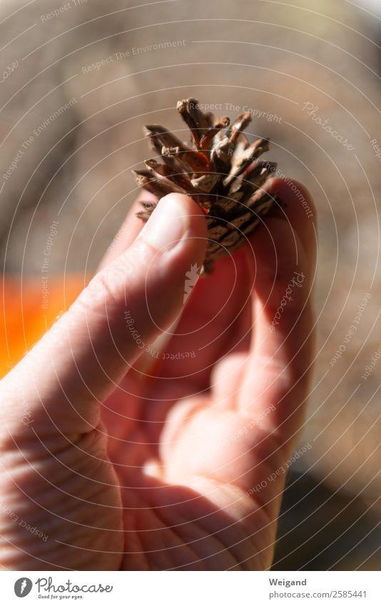 Kiefernzapfen ruhig Meditation Duft Schönes Wetter Pflanze Baum Wald einfach braun trösten dankbar Herbst Zapfen Erntedankfest festhalten Sammlung Farbfoto