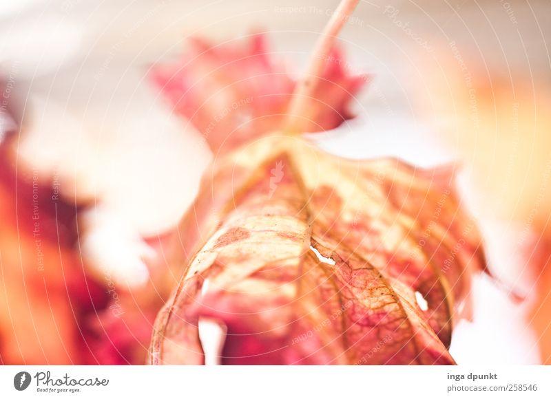 Feuer schön rot Pflanze Blatt gelb Herbst Umwelt Gefühle Stimmung ästhetisch Hoffnung Vergänglichkeit Unendlichkeit Jahreszeiten Verfall Herbstlaub