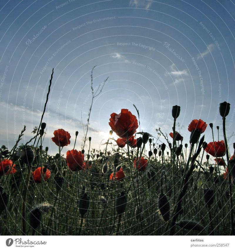 Vielen Dank für die Blumen Himmel Natur blau grün rot Pflanze Sonne Sommer Wiese Umwelt Landschaft Blüte Blühend Mohn Mohnblüte Mohnkapsel