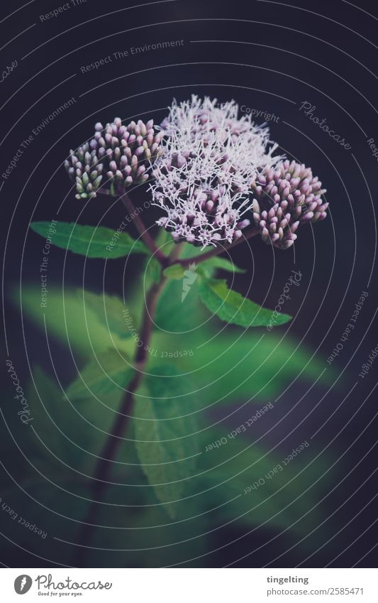 Rosa Knospen Umwelt Natur Pflanze Blume Sträucher Blatt Blüte Wildpflanze Blühend grün rosa nah Unkraut Wildblume Blütenknospen kalt Farbfoto Gedeckte Farben