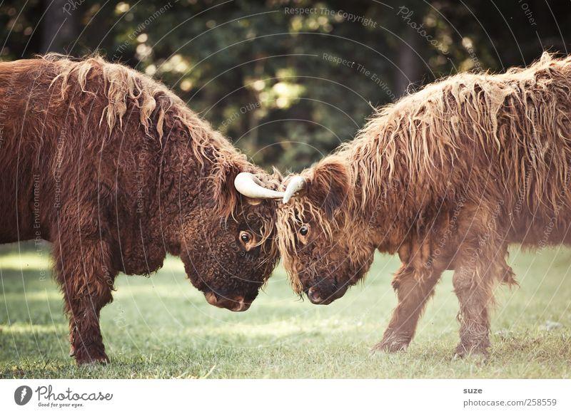 Naturburschen Umwelt Tier Wiese Feld Fell Nutztier Tiergesicht 2 Tierjunges kämpfen Konflikt & Streit kuschlig lustig niedlich wild Macht Kalb Rind Weide