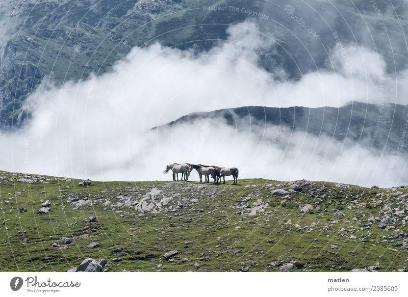 Wolken ohne Himmel Landschaft Sommer Gras Felsen Berge u. Gebirge Gipfel Tier Nutztier Pferd Herde hoch blau braun grau grün weiß karg Farbfoto Außenaufnahme