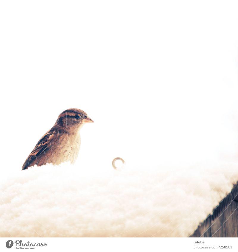Die Spatzen pfeifen es von den Dächern... Natur weiß Winter Tier gelb Schneefall braun Vogel Eis Frost Dach Pfeife Cross Processing