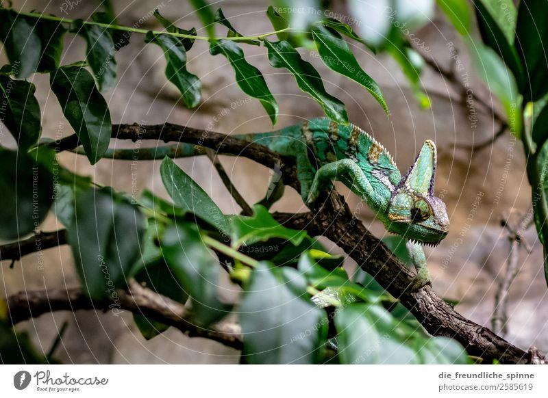 Chamäleon Natur Tier Sträucher Blatt Urwald Berlin Deutschland Europa Wildtier Aquarium 1 braun grün Ast Klettern verstecken langsam Leguane Echsen gefährlich