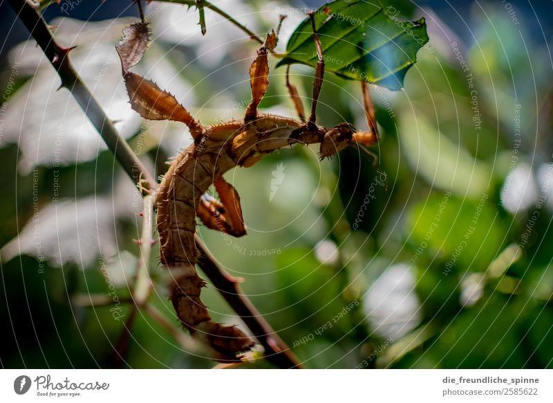 Gespensterheuschrecke Natur Sommer Pflanze schön grün Baum Tier Blatt Wald Berlin Deutschland braun Angst Europa elegant Wildtier