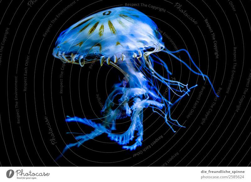 Skurrile Wasserschönheit blau Tier schwarz Umwelt Berlin Deutschland Schwimmen & Baden Europa Wildtier Schweben skurril falsch Aquarium Qualle Fabelwesen