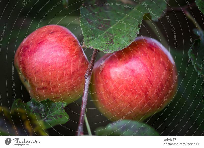 Zwillinge Lebensmittel Apfel Ernährung Bioprodukte Vegetarische Ernährung Natur Herbst Pflanze Blatt Obstgarten hängen leuchten frisch Gesundheit gut lecker