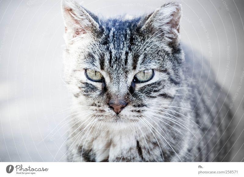 Scharfe Mietze Natur Tier Haustier Katze Tiergesicht Auge 1 beobachten entdecken glänzend ästhetisch elegant Neugier Sauberkeit grau schwarz silber Coolness