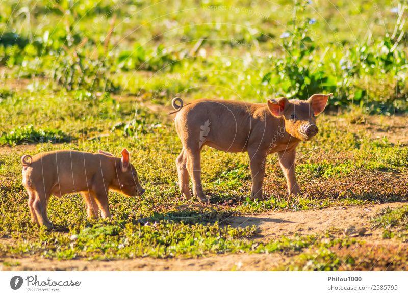 Zwei Ferkel, die auf einer Wiese füttern. Sommer Baby Natur Tier Gras klein lustig niedlich grün rosa Belgien Gaume zwei Ackerbau Hintergrund Aktion heimisch
