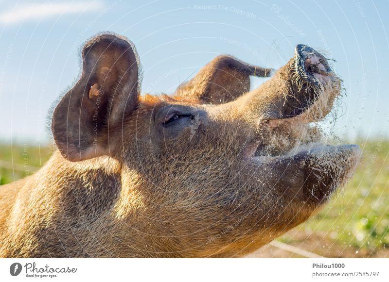 Nahaufnahme des erhobenen Kopfes einer fleißigen Sauenfütterung Fleisch Gesicht Mutter Erwachsene Tier Wiese Nutztier füttern klein weiß Farbe Belgien Gaume
